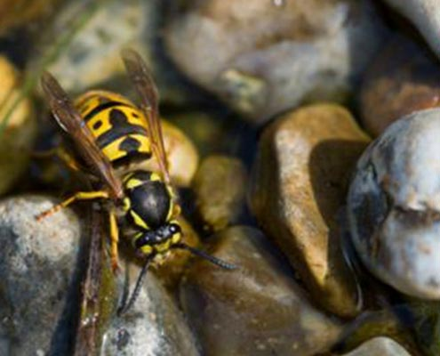 Ground Bee Removal